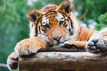 Tiger India. Siberian Tiger Cub national parks
