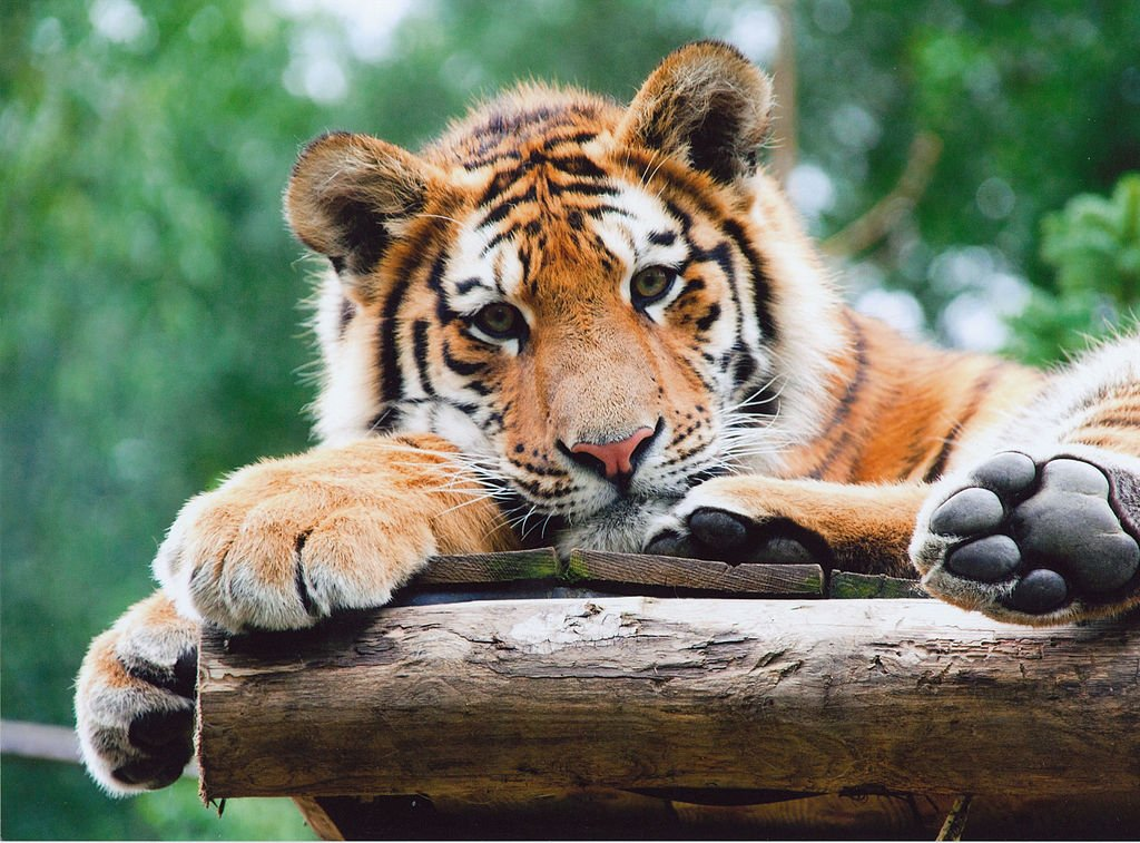 5 Purrfect National Parks for Tiger Spotting in India - Ecophiles