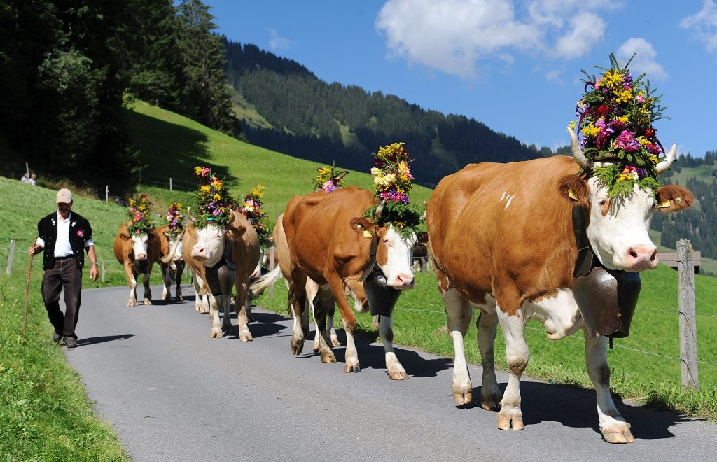 AlpKultur: Every autumn, the ceremonial cattle drive of St. Stephan winds down Alp Duerrenwald with flower-bedecked cattle. Photo: Lenk Simmental Tourismus/ swiss-image.ch/Andreas Mueller