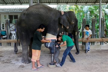 Thai elephant Mosha gets a prosthetic leg