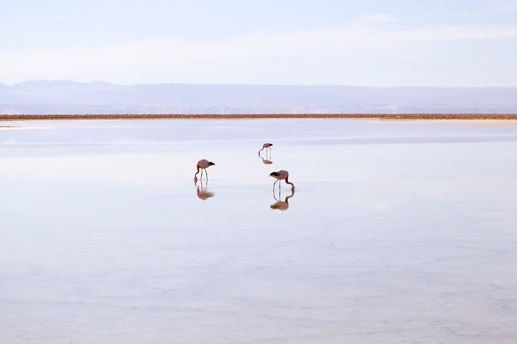 Chile flamingos in desert lagoons