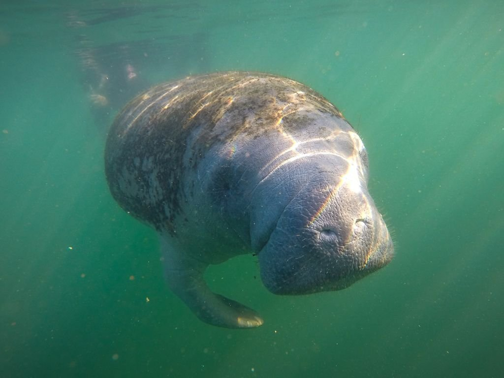 Manatees may soon lose endangered species status after US review