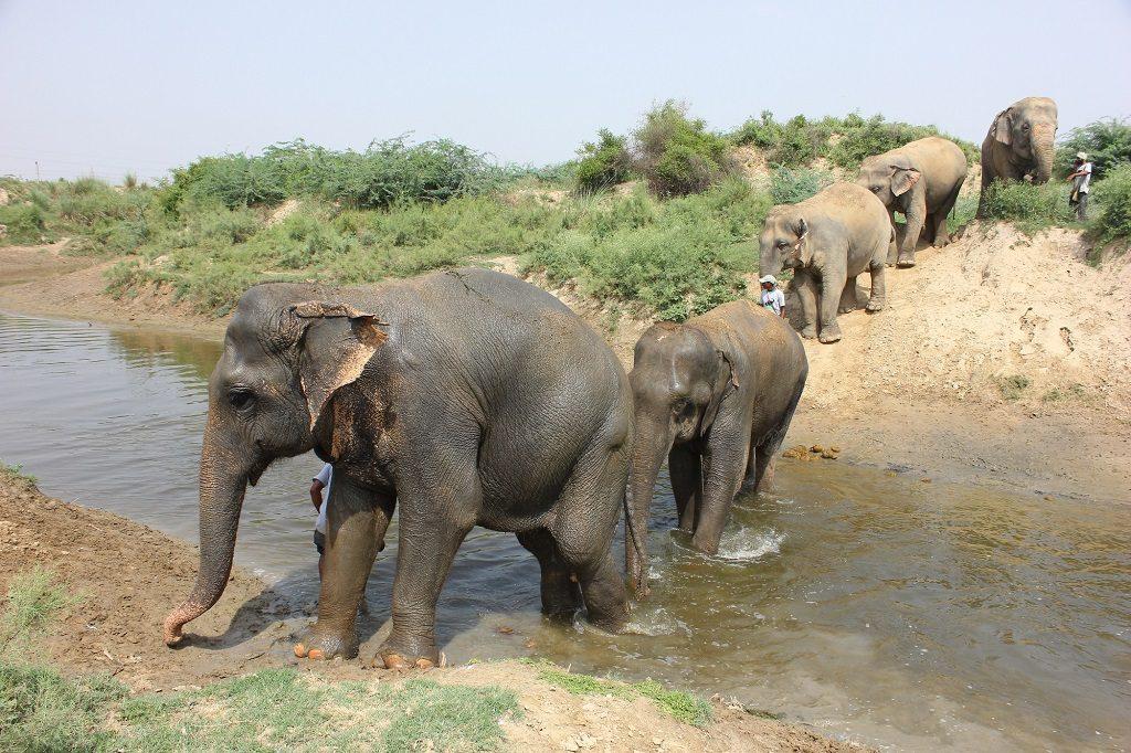 India Elephants WildlifeSOS Elephant facts