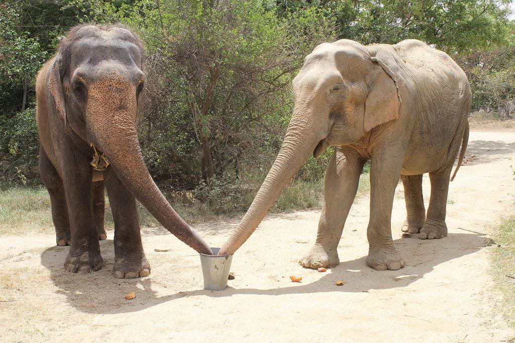 India Elephants6 WildlifeSOS