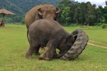Yindee shows his Nanny, Ponsawan, how to lift the giant tire. elephant nature park thailand