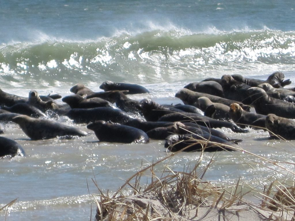 Seals gather on South Monomoy Island, a few hundred yards from the lighthouse. Photo: Keith Shannon/USFWS