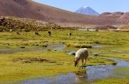 chile llamas grassland