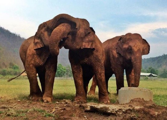 Elephants at play: Thai Koon and Friends