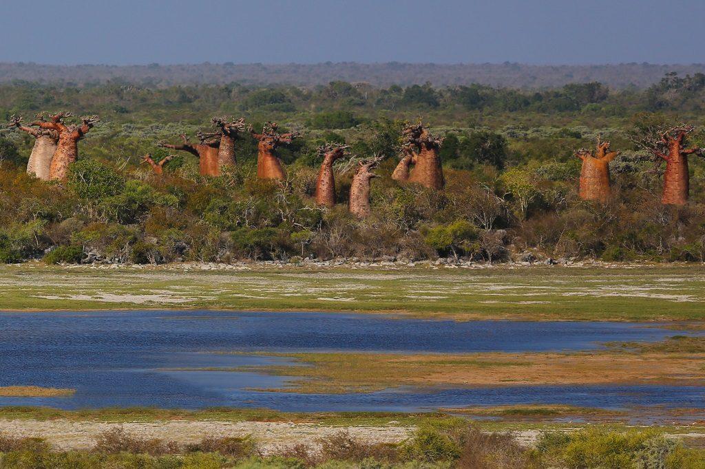 Bottle-shaped baobabs of Andavadoaka