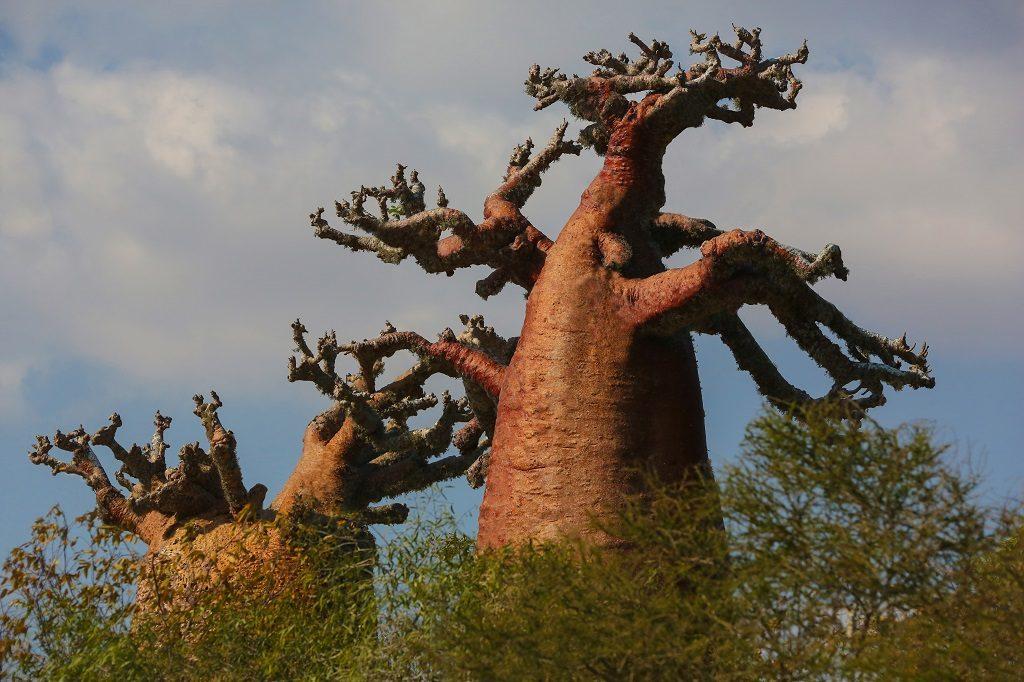 Madagascar bottle-shaped-baobabs_hd