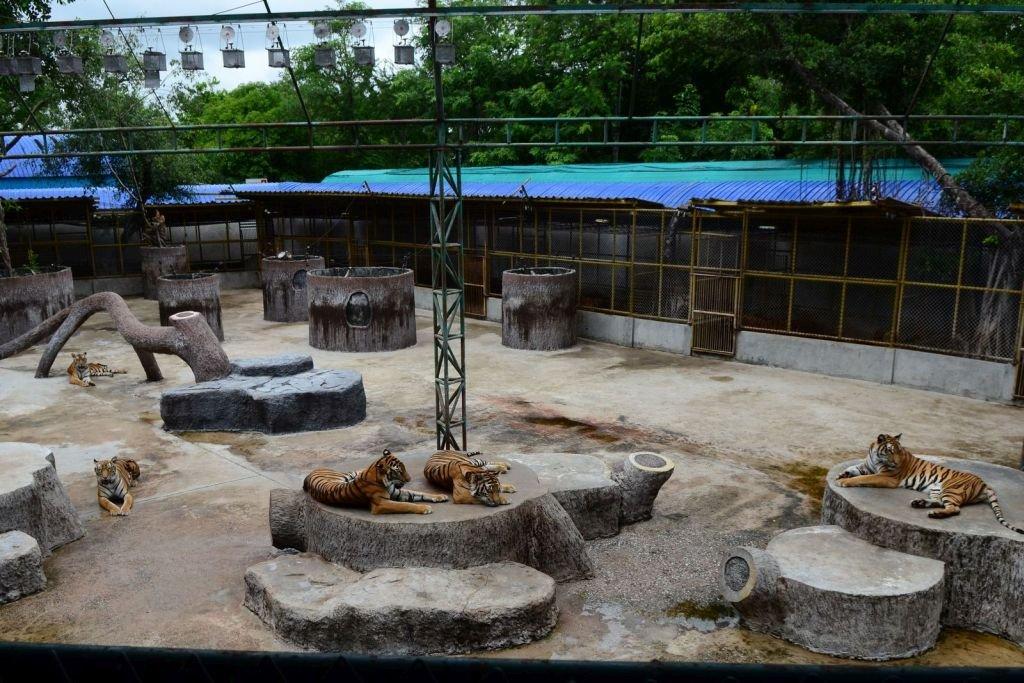 Captive tigers at Sri Racha Tiger Zoo, Thailand