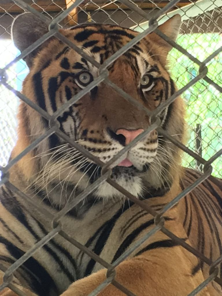 Captive tigers at a tourist facility in Thailand.