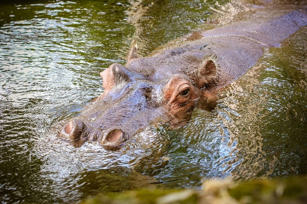 Lucifer the Hippo turns 54 this year, and is a popular holdover from the early days of tourism at Homosassa Wildlife State Park, prior to the Park's decision to feature solely native Florida species