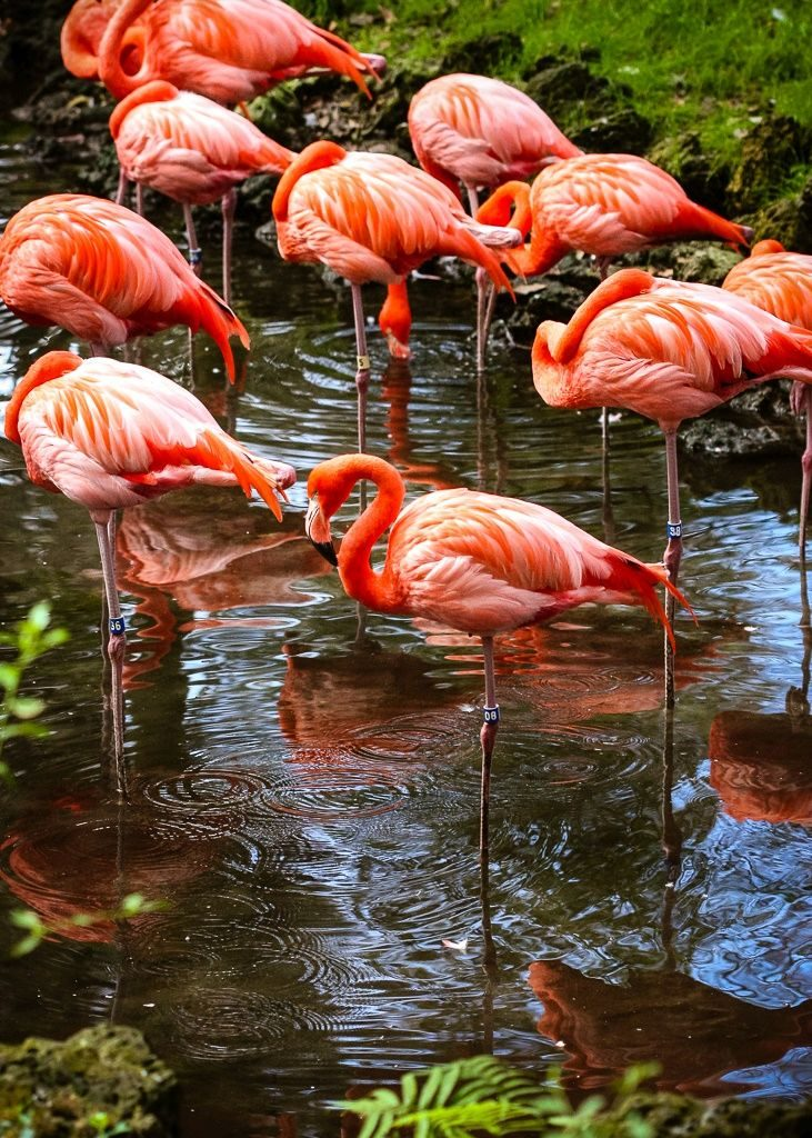 Flamingos get their bright orange color from the brine shrimp on which they feed