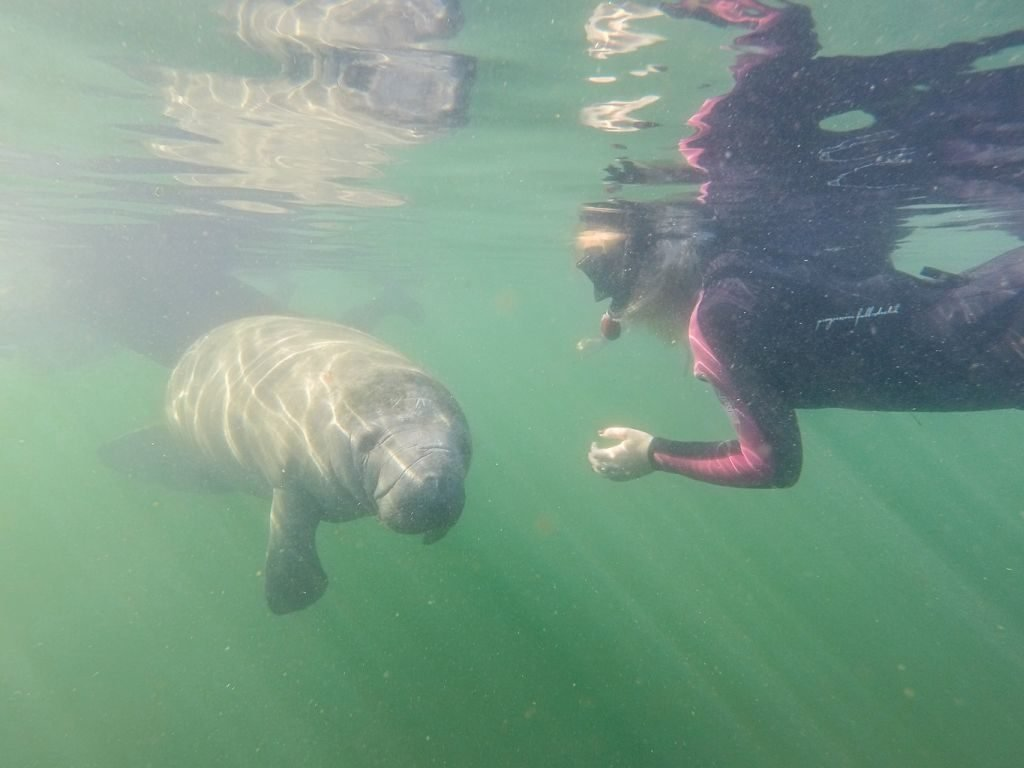 Swimming with manatees is a popular ecotour and one that can only be done in Crystal River, Florida
