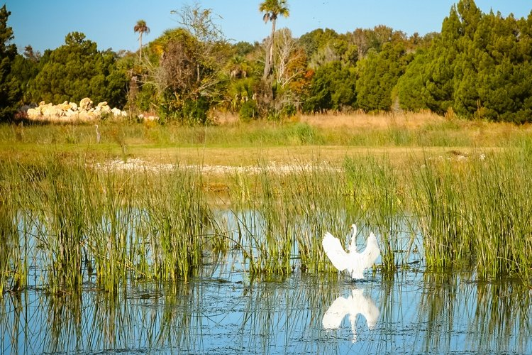 The newly restored wetlands surrounding Three Sisters Springs in Crystal River