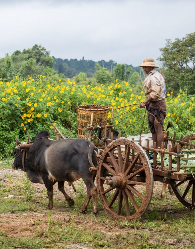 Myanmar-BullockCart in a Shan Village.