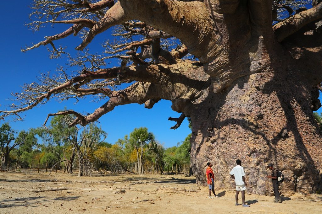 The biggest baobab known in Madagascar
