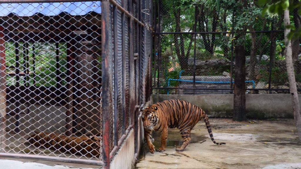 Captive tiger in appalling conditions. Photo by WAP