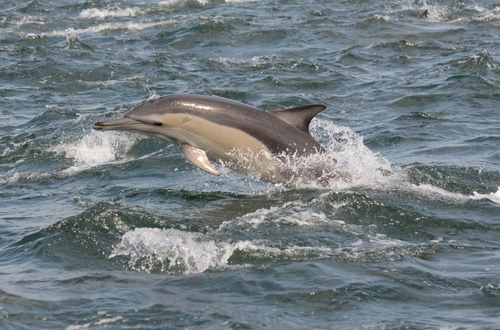 Dolphins are highly social animals. Some, like the long-beaked common dolphin seen above, can gather in groups (called pods) that number in the thousands. ©Alejandra Vargas / Nelson Mandela Metropolitan University