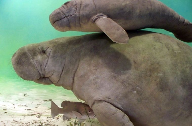 swimming with Manatees, florida