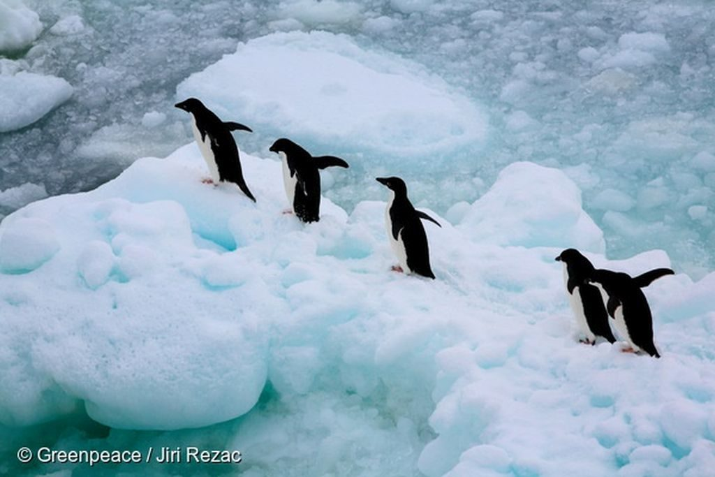 A group of Adeli Penguins are seen here in the Antarctic sea ice of the Southern Ocean.