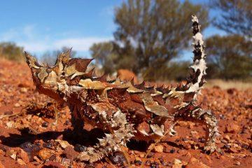 Thorny-Dragon- Australia