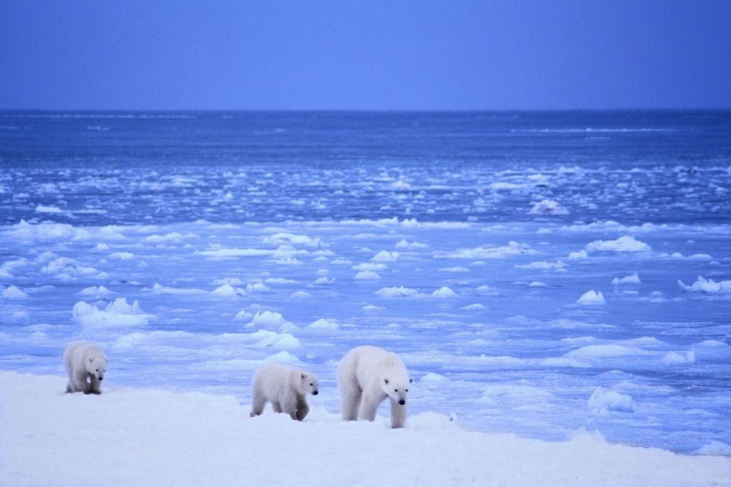 Obama bans drilling in Arctic Ocean: €Good news for polar bears and other wildlife in the Arctic