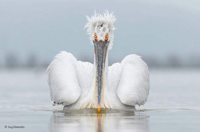 Dalmatian pelican, seen here on Lake Kerkini, Greece, is the largest species of pelican in the world. wildlife photography