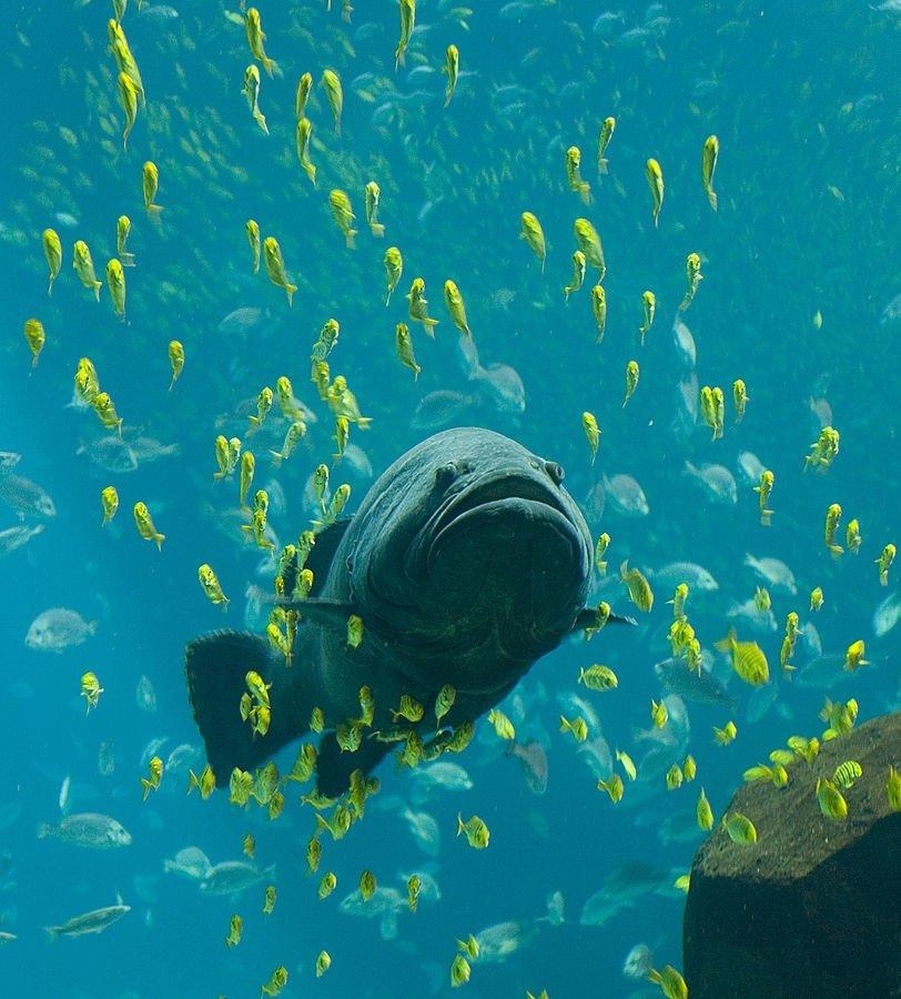 do fish feel pain Georgia_Aquarium_-_Giant_Grouper