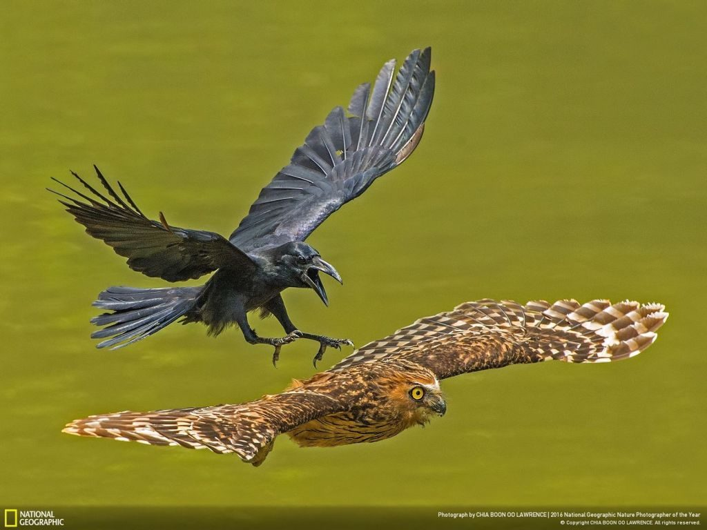 nat geo winner nature photographer of the year crow owl