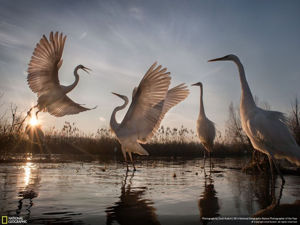 National Geographic Nature Photographer of the Year egret - 1024 x 768