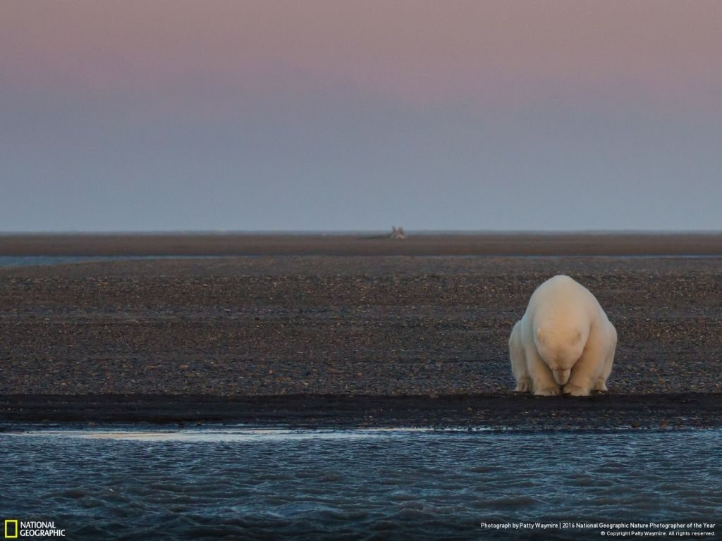 National Geographic Nature Photographer of the Year polar bear - 1024 x 768
