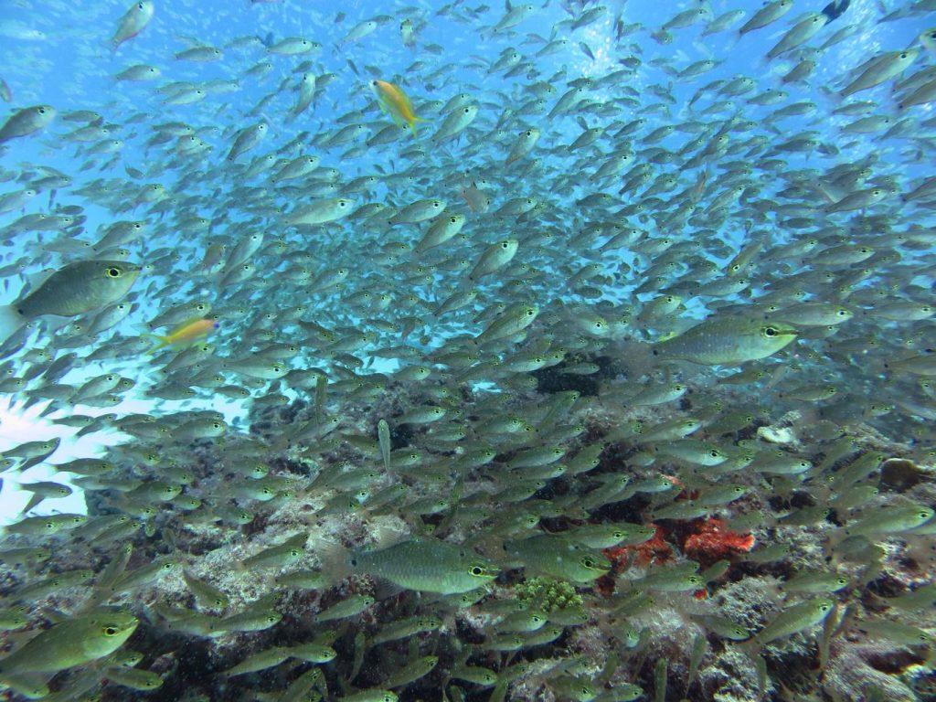 diving in Japan Amami Gilbert's cardinal fish