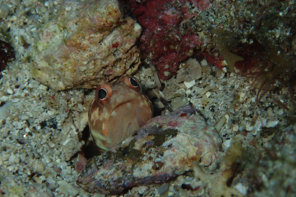 diving in Japan Amami jawfish