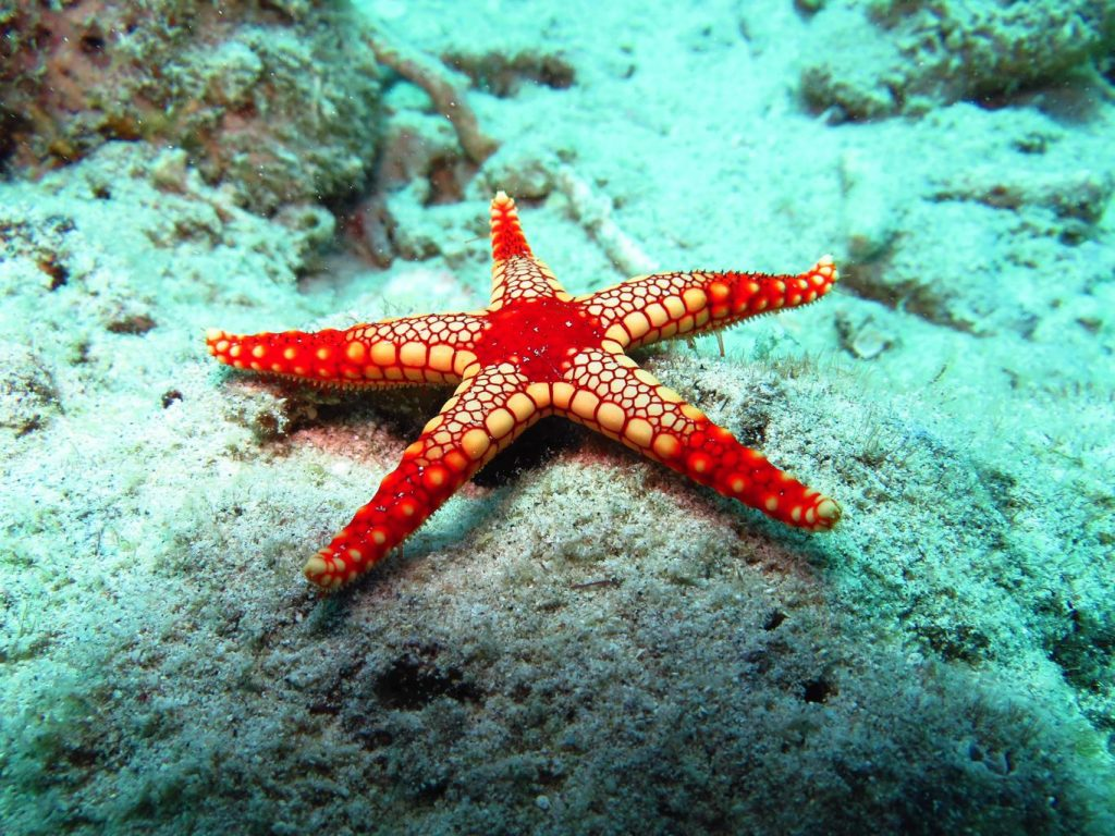 diving in Japan Amami starfish