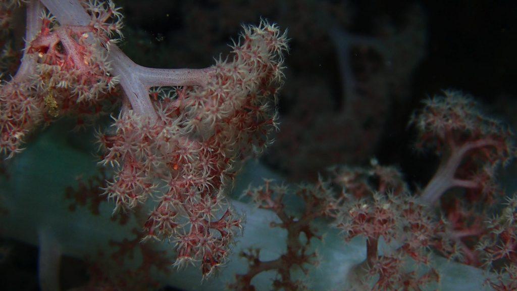 diving in Japan Atami soft coral