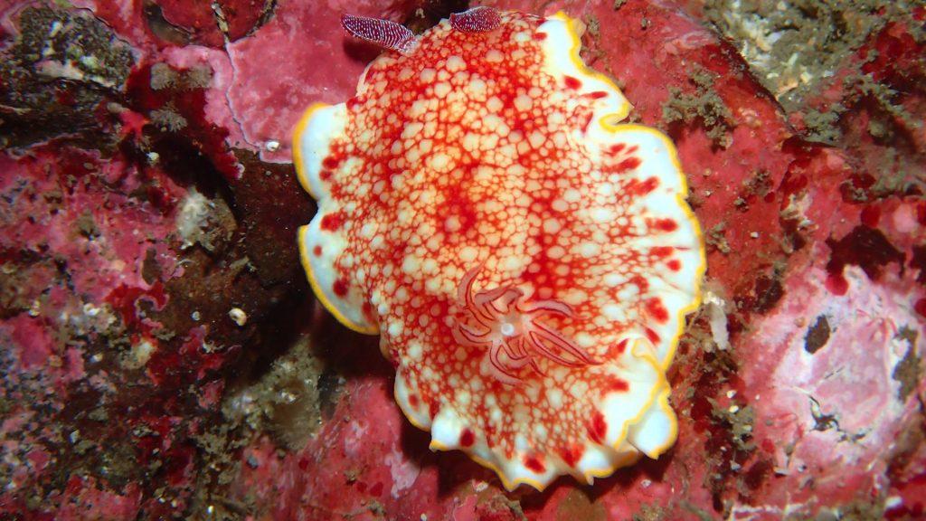 diving in Japan Miyagawa Bay nudibranch