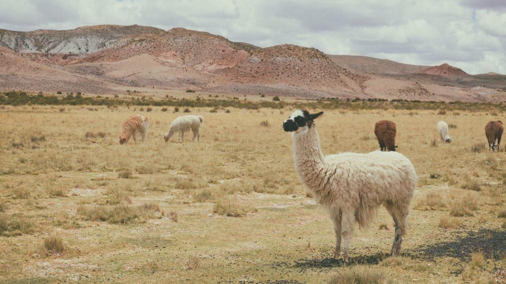 Peru alpaca-paz-arando