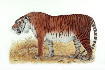 An artist's depiction of a Caspian tiger.