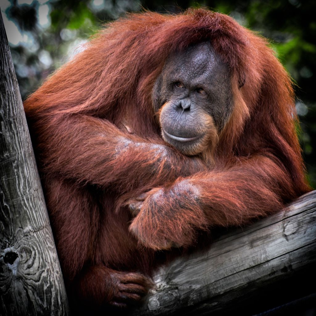 Orangutan are the stars of the famous Sepilok sanctuary in Borneo