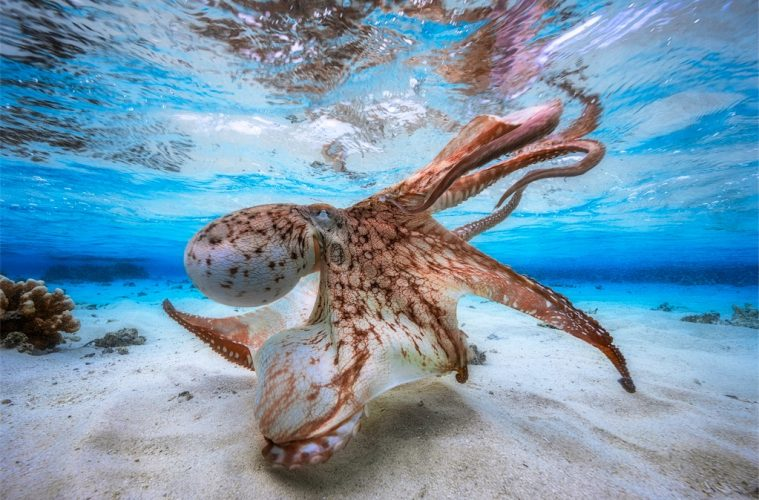 winner of the Underwater Photographer of the Year 2017: Dancing Octopus UPY competition