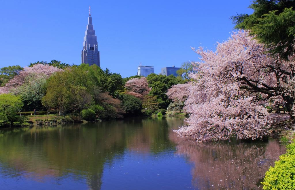 Shinjuku Gyoen Japan Cherry Blossom