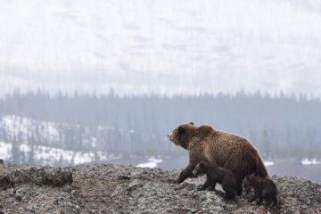 bear cubs alaska