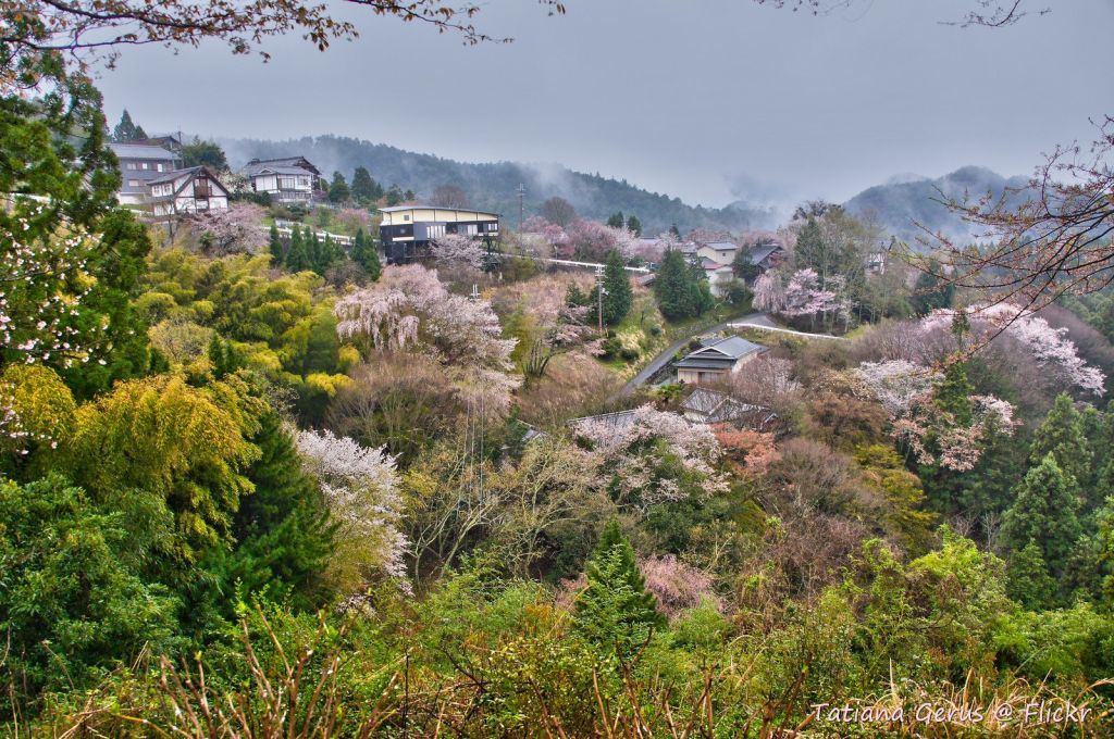 japan cherry blossoms Mt Yoshinojapan cherry blossoms Mt Yoshino