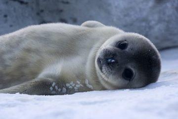 baby seals canada
