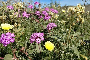 california wildflower super bloom