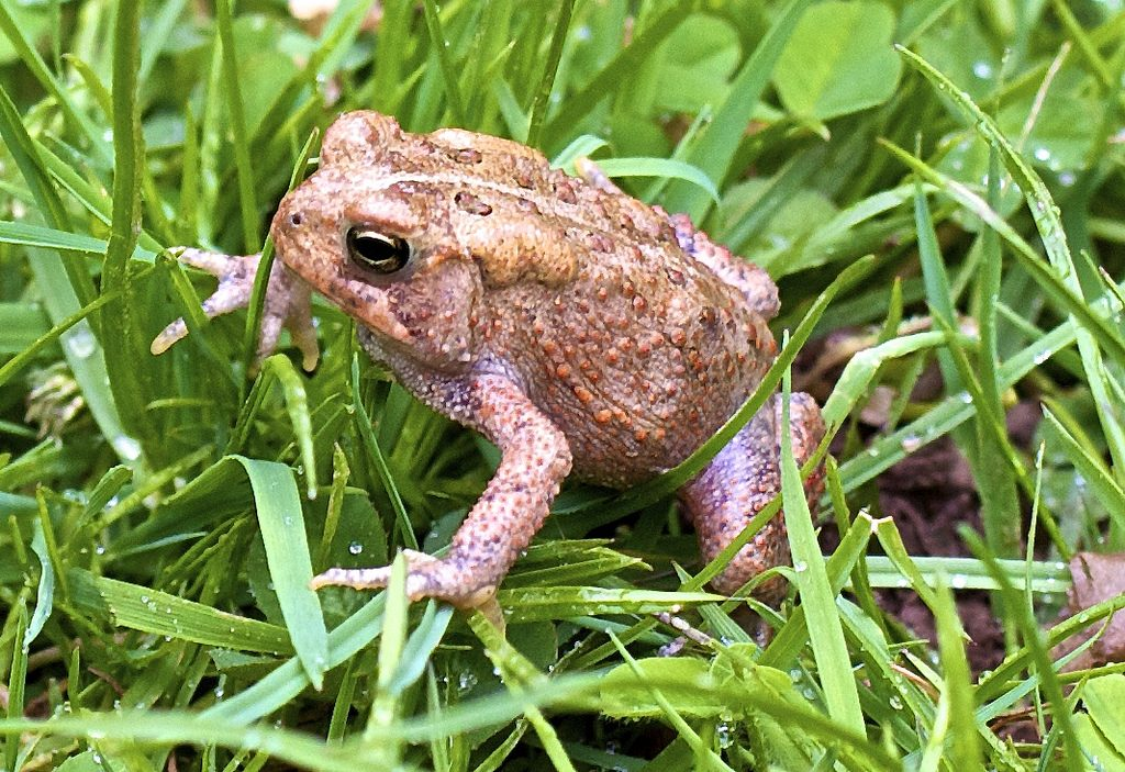 Froglife Toad