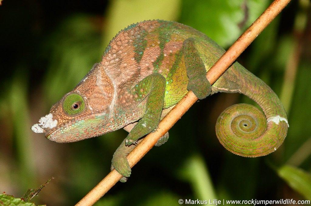 Chameleon, Oshaughnessy's; Calumma oshaughnessy Madagascar Rock Jumper Birding
