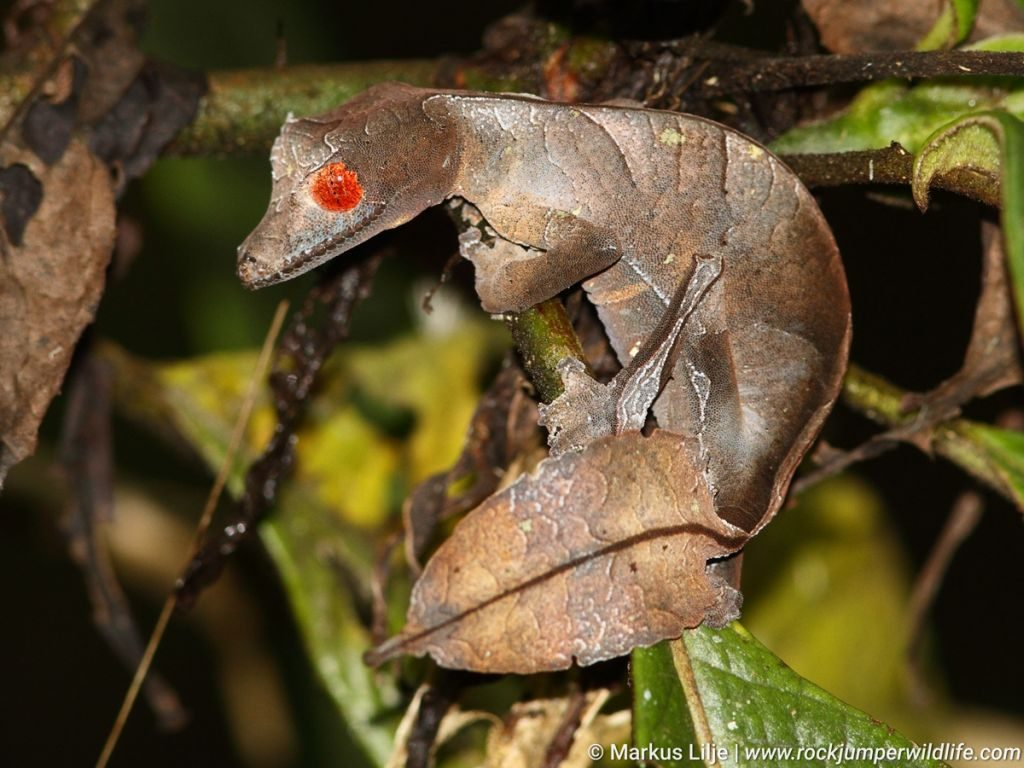 Gecko, Leaf-tailed, Fantastic